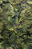 Moss covered tree, Te Urewera National Park, North Island, New Zealand