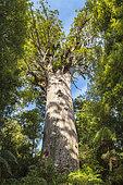 Tāne Mahuta, Giant Kauri tree in the Waipoua Forest, North Island, New Zealand