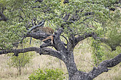 Leopard (Panthera pardus) eating its prey in a tree in Kruger National park, South Africa