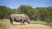 Southern white rhinoceros (Ceratotherium simum simum) crossing safari gravel road in Kruger National park, South Africa