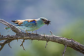 European Roller (Coracias garrulus) eating insect in Kruger National park, South Africa