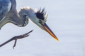 Portrait of Grey Heron (Ardea cinerrea) scratching in Kruger National park, South Africa