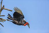 Bucorve du Sud (Bucorvus leadbeateri) en vol sur fond de ciel bleu, Parc national Kruger, Afrique du Sud