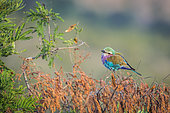 Lilac breasted roller (Coracias caudatus) isolated in natural background in Kruger National park, South Africa