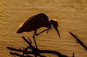 Little egret (Egretta garzetta) in backlit in Kruger National park, South Africa