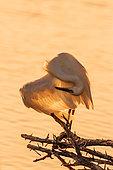 Little egret (Egretta garzetta) preening in backlit in Kruger National park, South Africa