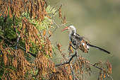 Southern Red billed Hornbill (Tockus rufirostris) isolated in natural background in Kruger National park, South Africa