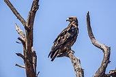 Aigle de Wahlberg (Hieraaetus wahlbergi) sur une branche, Parc national Kruger, Afrique du Sud