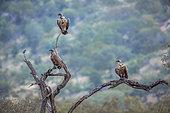 Vautours africains (Gyps africanus) face à un Choucador à oreillons bleus (Lamprotornis chalybaeus) sur un arbre mort, Parc national Kruger, Afrique du Sud