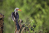 Southern yellow billed hornbill (Tockus leucomelas) perched in rear view in Kruger National park, South Africa