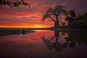 Baobab et petite vasque remplie d'eau lors des grandes marrées hautes et coucher de soleil. Sud Mayotte