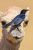 Tristram's Starling (Onychognathus tristramii), side view of an adult male standing on the nose of a Dromedary Camel