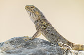 Yellow-spotted Agama (Trapelus flavimaculatus), close-up of an individual standing on a rock, Dhofar, Oman