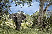 African bush elephant (Loxodonta africana) open hear in front view in Kruger National park, South Africa