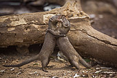 Two Common dwarf mongoose (Helogale parvula) fighting in Kruger National park, South Africa
