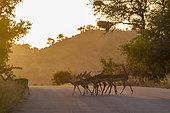 Common Impala (Aepyceros melampus) crossing safari road at sunrise in Kruger National park, South Africa