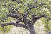 Leopard (Panthera pardus) with kill on a tree in Kruger National park, South Africa