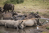 Three Southern white rhinoceros (Ceratotherium simum simum) and african buffalo bathing in water pond in Kruger National park, South Africa