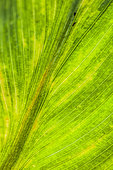 Detail of the Canna Yellow Streal Virus (CaYSV), with characteristic streaks.