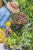 Planting atmosphere of perennials and foliage plants in autumn: woman planting a knotweed.