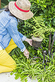 Woman planting a fern (Dicksonia antartica)