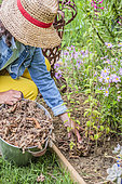 Planting a sage step by step: mulching the stump with dead leaves against the winter cold.