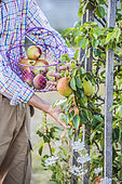Man harvesting pears 'Doctor Jules Guyot'