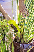 Woman bringing fertilizer to a variegated phormium growing in a pot, in summer