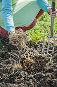Incorporate straw in the planting hole to improve drainage in heavy soil.