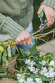 Woman making an extract of saponaire roots. Saponaria manure, a plant providing a natural soap, is obtained by letting the roots soak for a few days in the water. It serves as an additive to natural sprays, by strengthening the adhesion of liquids on the leaves: it is a wetting agent.