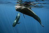 Short-finned pilot Whale (Globicephala macrorhynchus), Tenerife, Canary Islands, Spain, Atlantic Ocean