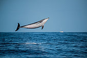 Bottlenose Dolphin (Tursiops truncatus) jumping, Tenerife, Canary Islands, Spain, Atlantic Ocean