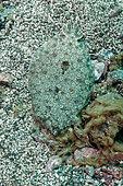 Wide-eyed Flounder (Bothus podas), Tenerife, Canary Islands, Spain, Atlantic Ocean