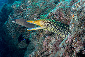 Fangtooth Moray (Enchelycore anatina), Tenerife, Canary Islands, Spain, Atlantic Ocean