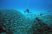 Bastard Grunt (Pomadasys incisus) and diver, Tenerife, Canary Islands, Spain, Atlantic Ocean