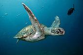 Green Turtle (Chelonia mydas), Tenerife, Canary Islands, Spain, Atlantic Ocean