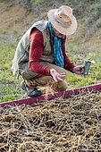 Homme semant un engrais vert : Trèfle incarnat (Trifolium incarnatum)