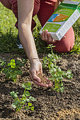 Organic fertilizer supply to vegetables (celeriac).