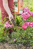 Woman bringing a fertilizer to a rose bush in summer.