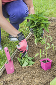 Woman putting a handful of fresh nettles at the bottom of the tomato plantation hole.