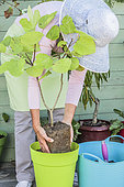 Woman planting a fig tree in pot.