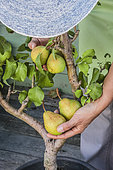 Harvest of pears on a pear tree growing in a pot.