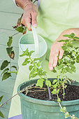 Woman planting peppermint in pot.