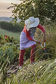 Woman pruning a lavender in autumn.