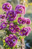 Chrysanthemum 'Mrs Jessie Cooper', rustic variety.