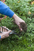 Cleaning of groundcovers and border plants in autumn: cut of yarrow