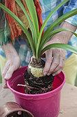 Make a Amaryllis (Hippeastrum sp) bloom again. 3 Repot