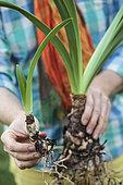 Make a Amaryllis (Hippeastrum sp) bloom again. 5 Divide
