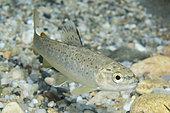 River trout (Salmo trutta fario) young trout in the river Dourbie, downstream of Nant, Aveyron, Occitanie, France