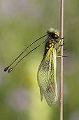 Butterfly-lion (Libelloides longicornis) on a stem, Calcareous grassland, Meuse, France